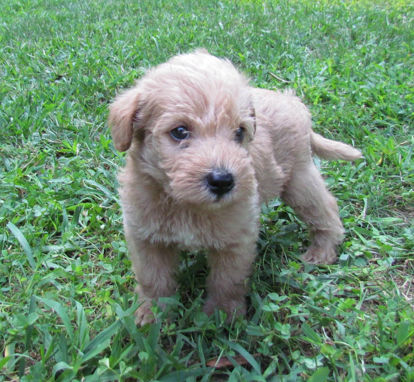 Hypo Allergenic Dog Breeds Dog Breeds