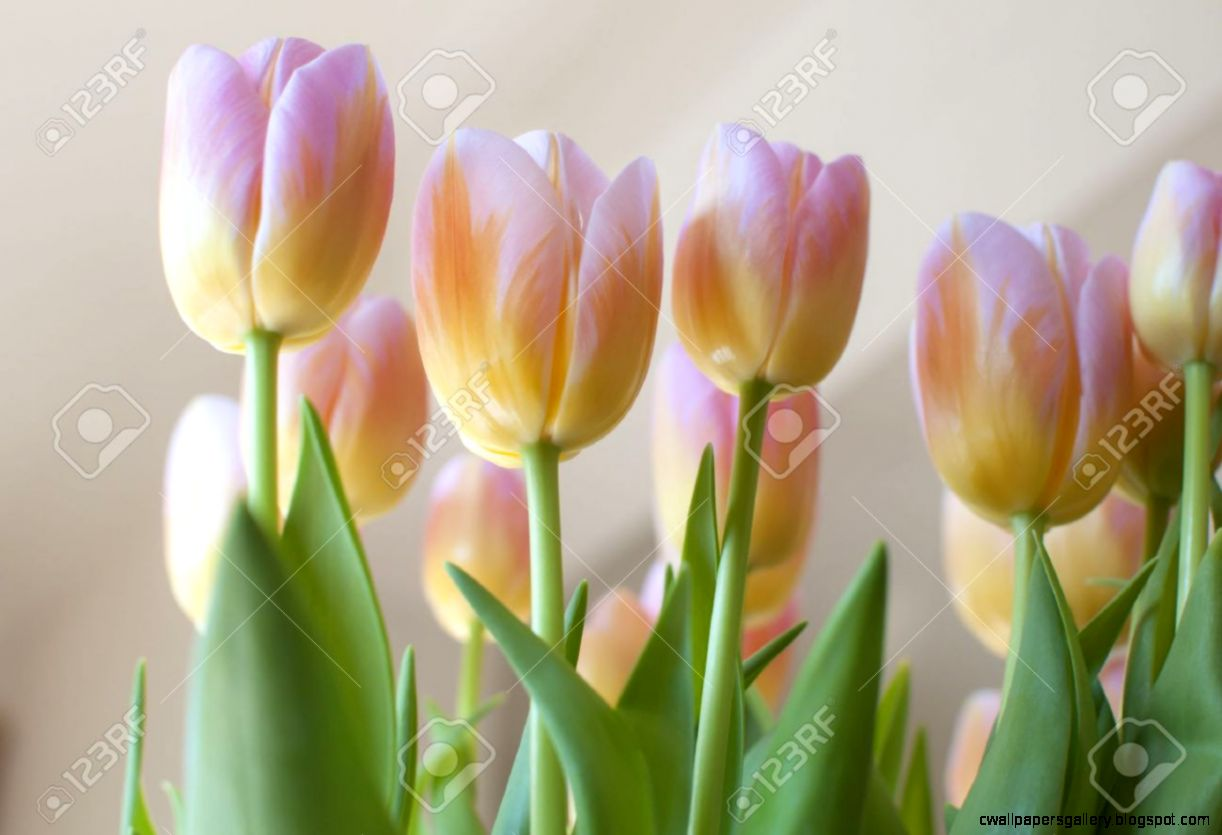 Bunch Of Delicate Pink And Yellow Tulips With Green Leaves And