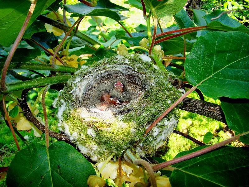 Características, alimentação, reprodução e distribuição do Tentilhão-comum (Fringilla coelebs)