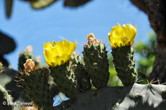 Ficchi d India/ Prickely pear in Sardinia