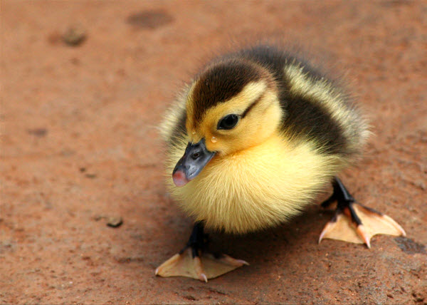 Latest Funny Pictures: Cute Ducklings Wallpapers For Desktop