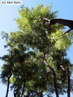 Las 3 acacias de flor amarilla (Tipuana Tipu) de la plaça de Sant Felip Neri de Barcelona