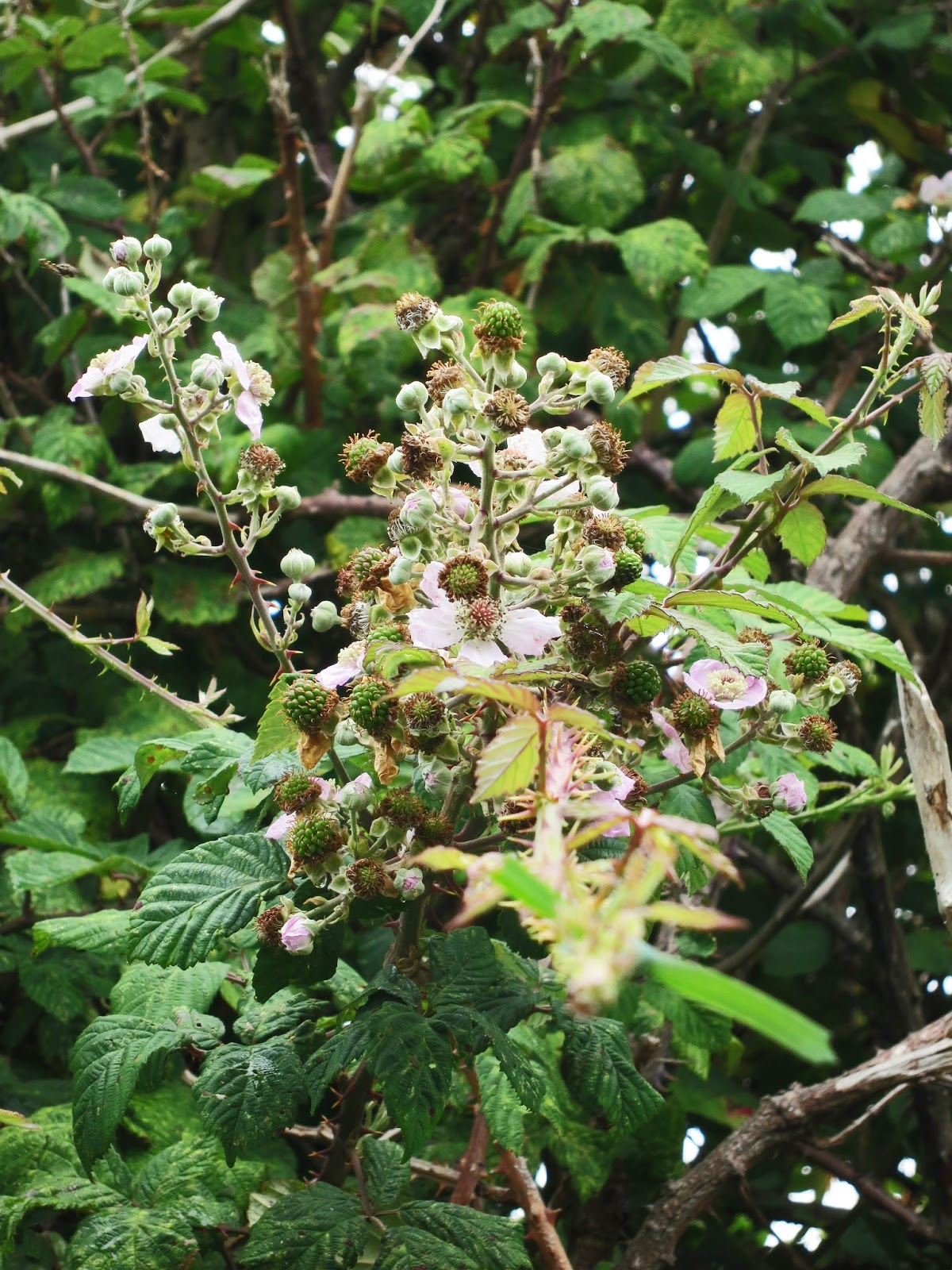 The bramble branch with flowers and small, unripe blackberries