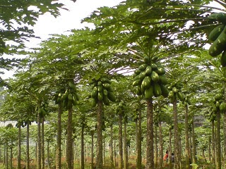 Perbedaan Tumbuhan Dikotil dan Monokotil   Perbedaan dan ...