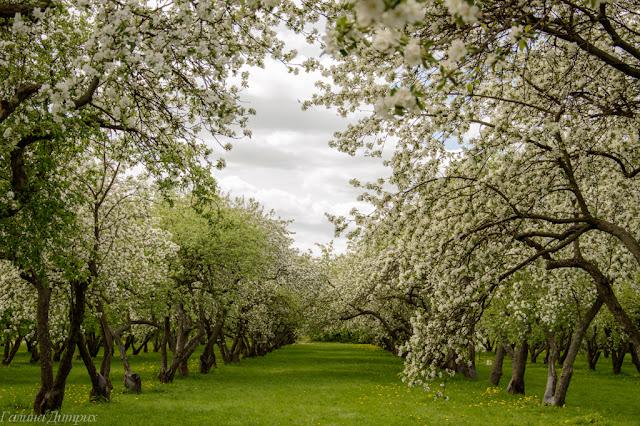 О жизни: Цветущие яблони фото