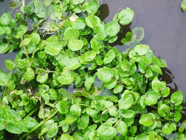 Watercress growing in Water Forlorns chalk stream