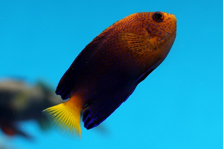 Japanese angelfish