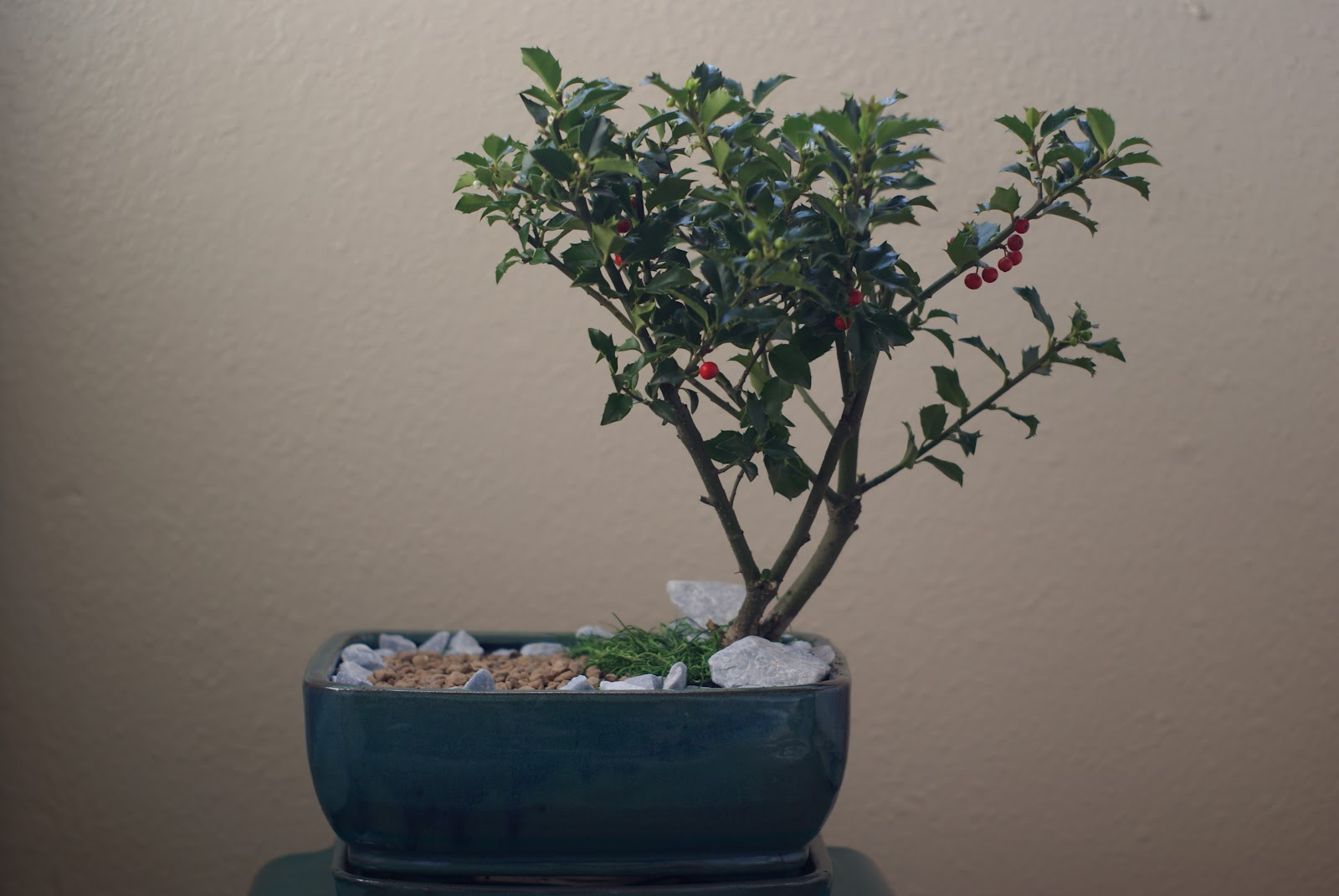 Bike and bonsai merry berry holly for Holly tree bonsai