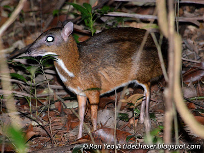 Lesser Mouse Deer (Tragulus kanchil)