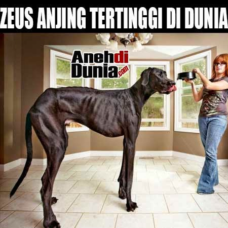 Anjing paling tinggi besar di dunia