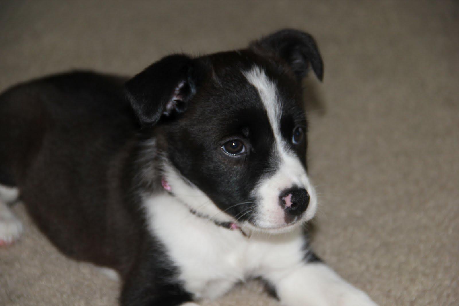 Dog Ready For Adoption German Shepherd Border Collie Mixed Dog | Dog ...
