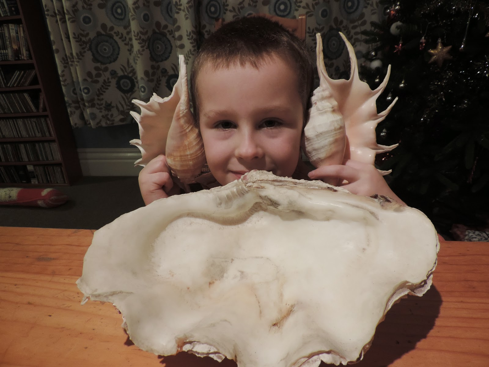 giant clam and lambis shells from red sea jeddah