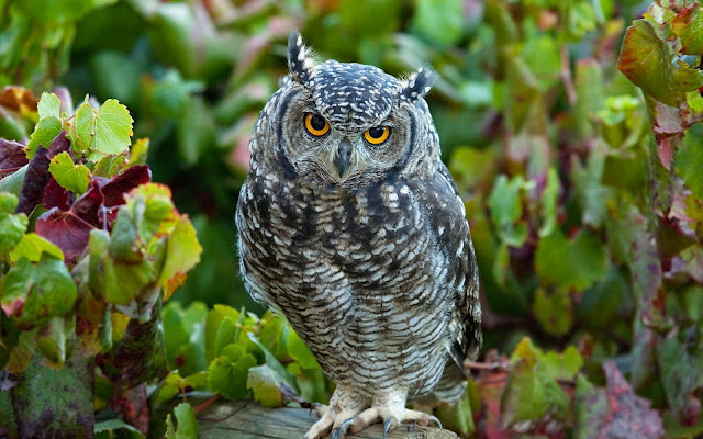 16728-Owls Animal HD Wallpaperz