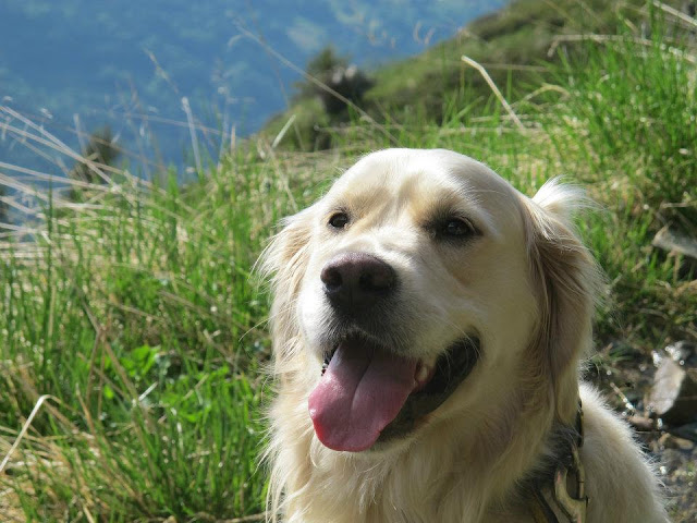 Boris the golden retriever, soon to be an international traveller