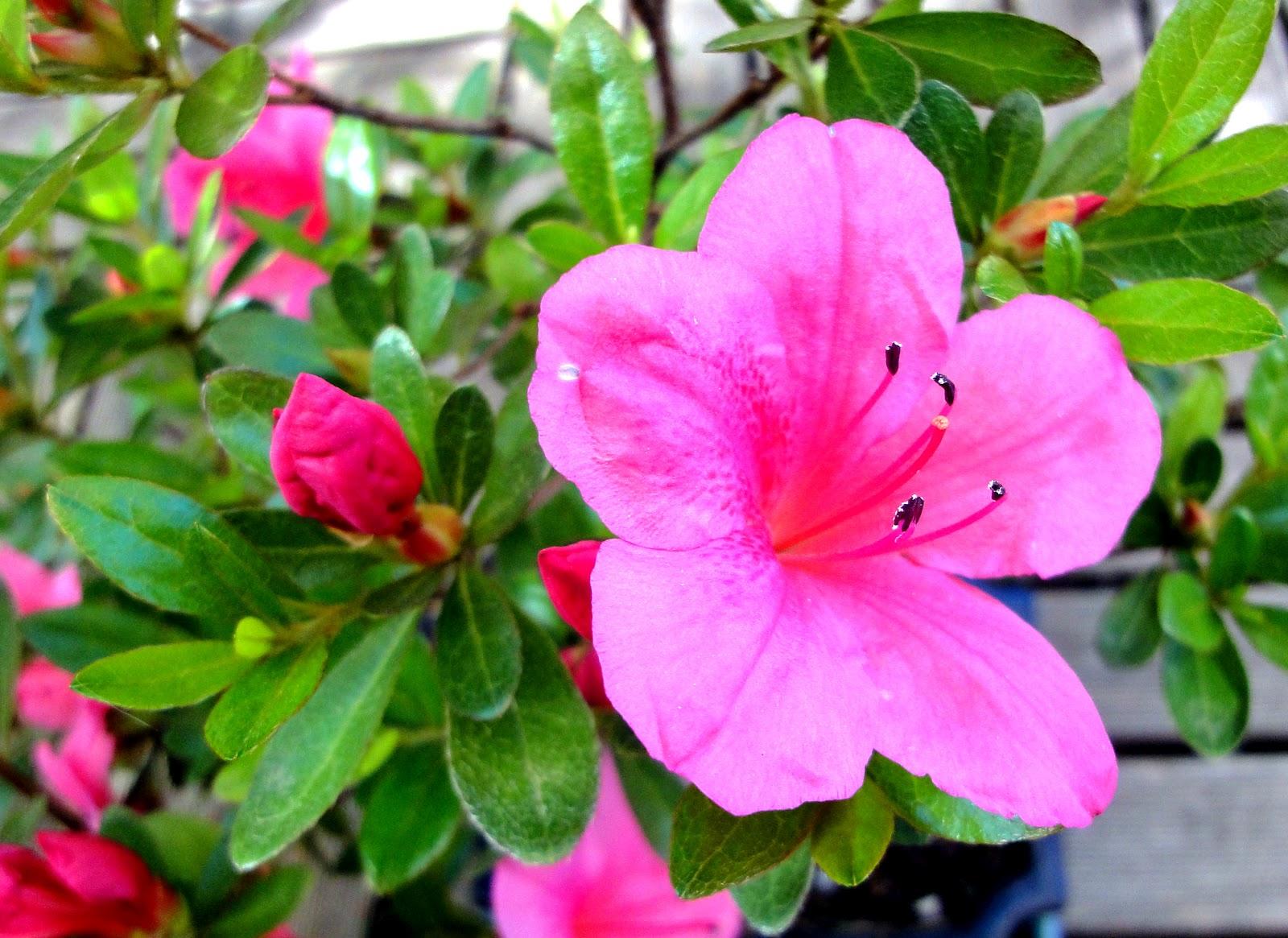 El sello verde azaleas - Plantas de invierno ...