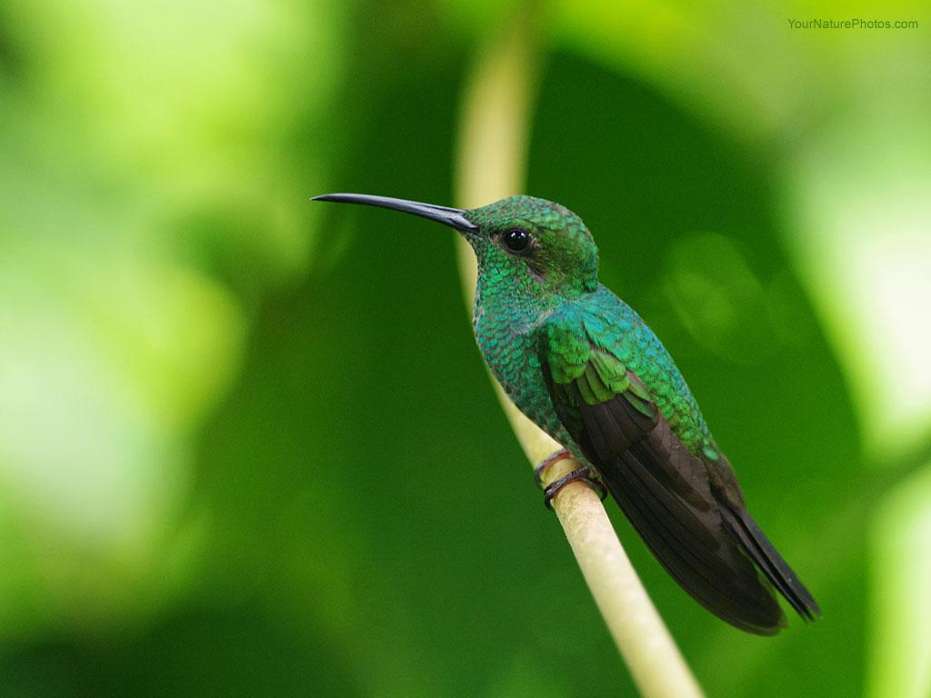http://3.bp.blogspot.com/-PFTVXwyP8jU/Tka_P1tccAI/AAAAAAAACGc/OGKl3icduyY/s1600/Hummingbird-Wallpaper.jpeg
