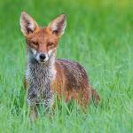 Auf den Fuchs gekommen...
