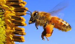 Você sabe o que são as corbículas de uma abelha?