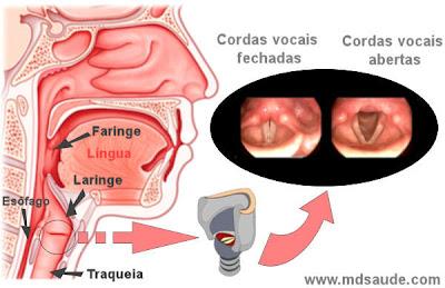 Laringe e cordas vocais