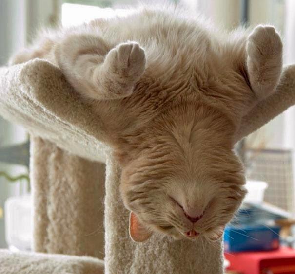 Khoảnh khắc đáng yêu của mèo tập yoga