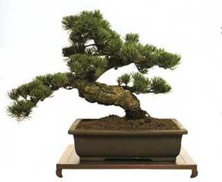 Piante e fiori i bonsai for Bonsai da interno