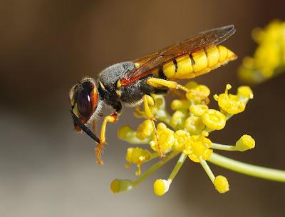 10 serangga paling berbahaya di dunia 789px-Wasp_August_2007-12