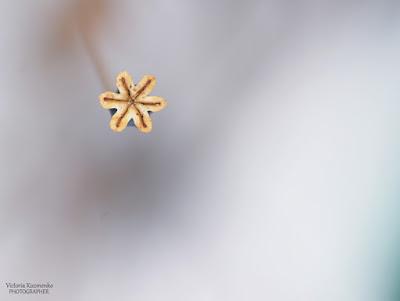 Зимний мак. Фотографии