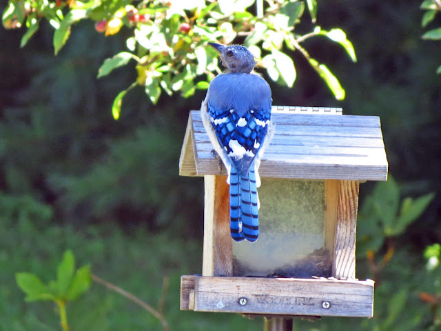 bald blue jay from behind