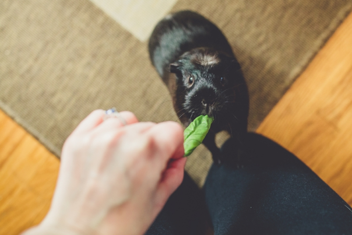 guinea-pig-photos
