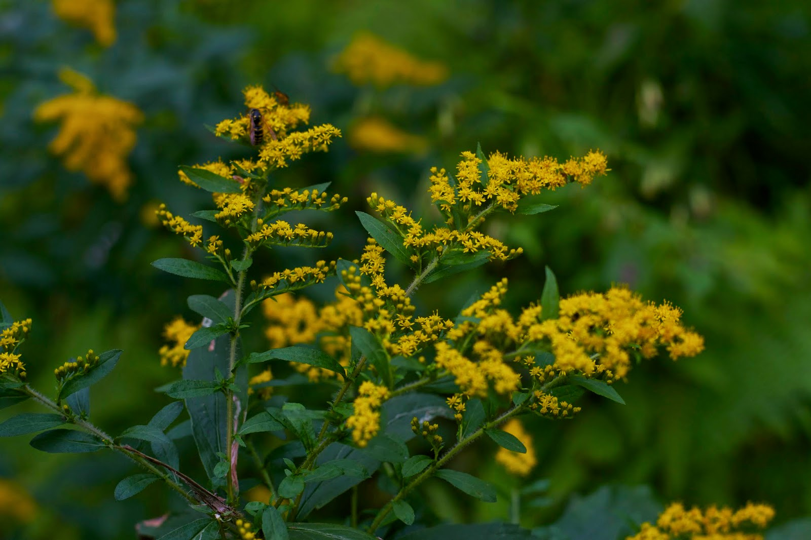 Pollinators on goldenrod at the end of the day