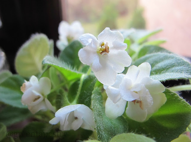 African Violet In Flower