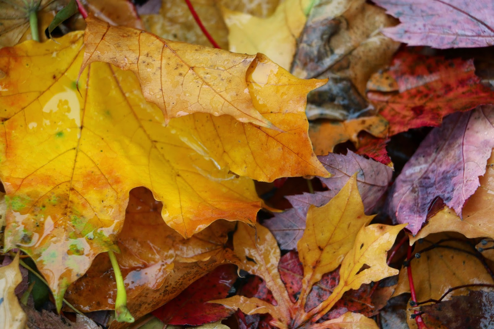 """Les Feuilles d'Automne...The Fall Leavess'-2d Photo Shahrzad Ghaffari MVM- 21 OCT 2014"