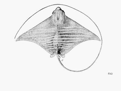 manta raya moteada Aetomylaeus maculatus