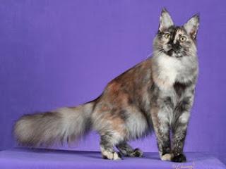 turkish angora information pet cats photo