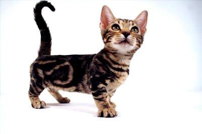 Foto Kucing Genetta