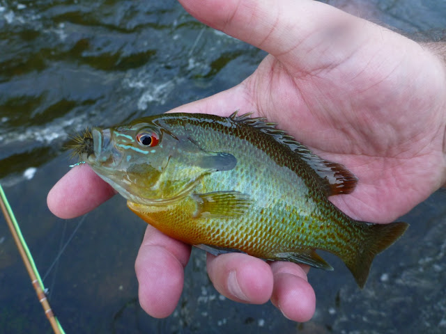 Perkiomen Creek Sunfish