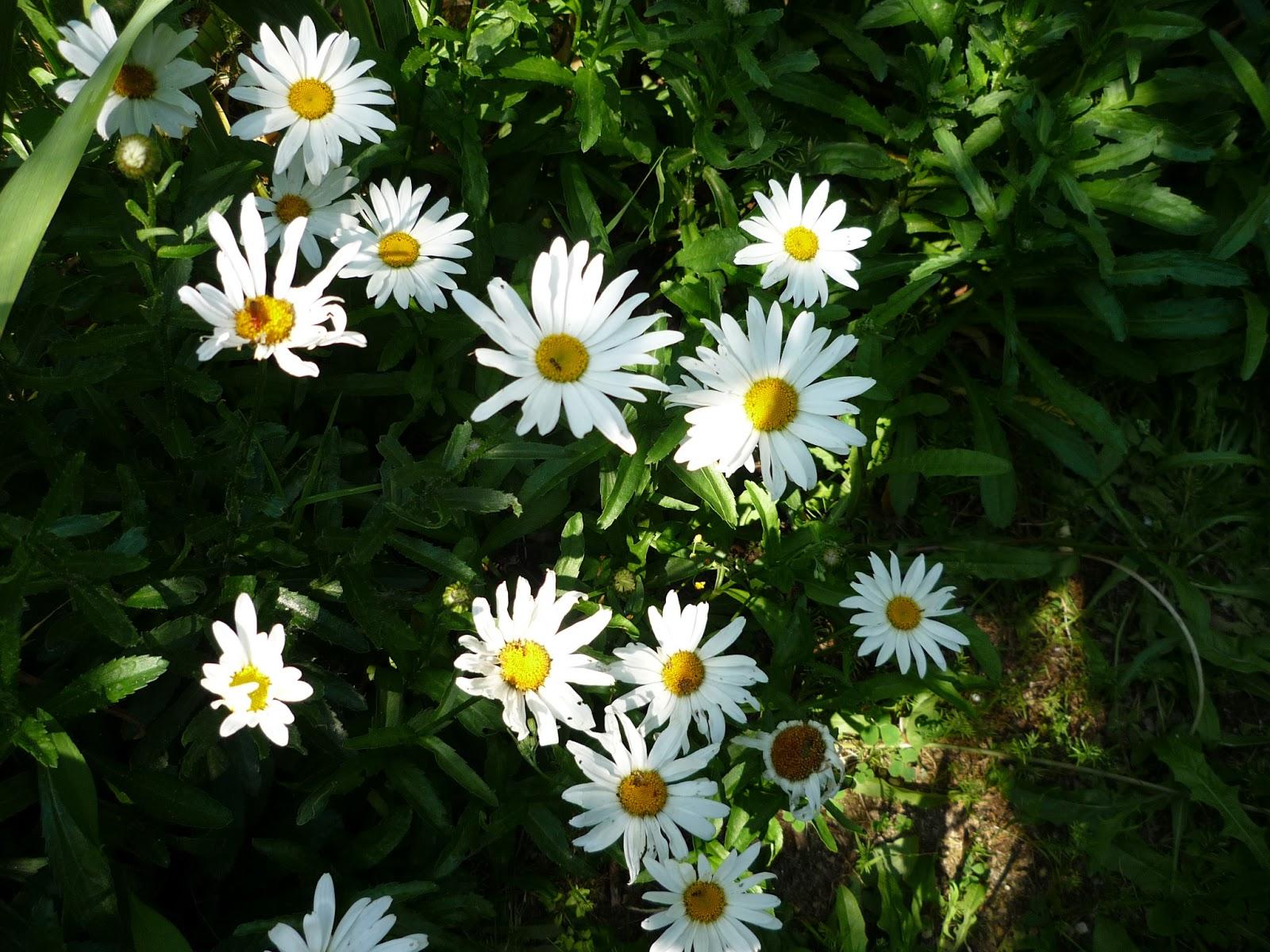 Tienda de plantas margarit n o margarita gigante - Plantas de exterior con flor ...