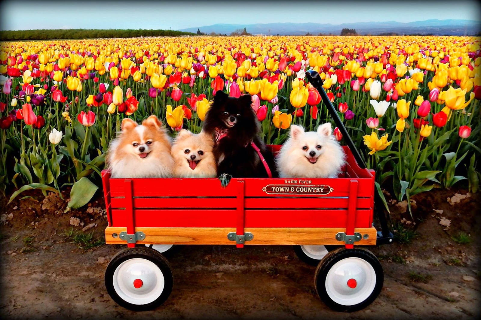 Картинки по запросу tulips dogs site:.au