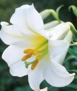 Lily Flower Picture on Types Of Flowers Pictures  Lily Flowers