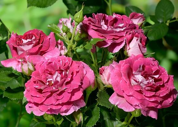 Let Celebrate rose сорт розы фото