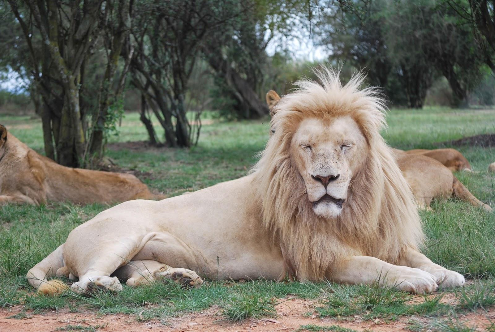 crinière du lion