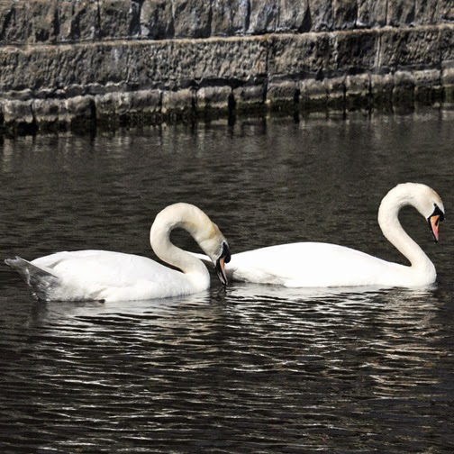 male and female mute swan courtship display