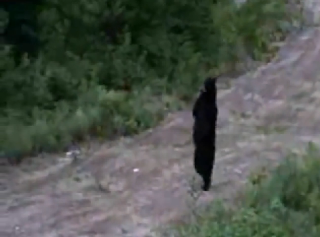 3 Legged Bear Walking Upright