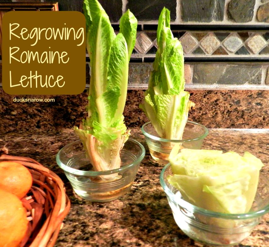 Best 25 Regrow Romaine Lettuce Ideas On Pinterest: Regrow Lettuce Right On Your Kitchen Counter