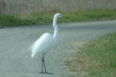Why Did the Egret Cross the Road?