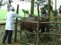 Tiêm phòng vắc xin cho gia súc