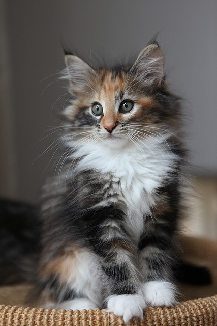 Top 10 Cat Breeds For Bussy Couples
