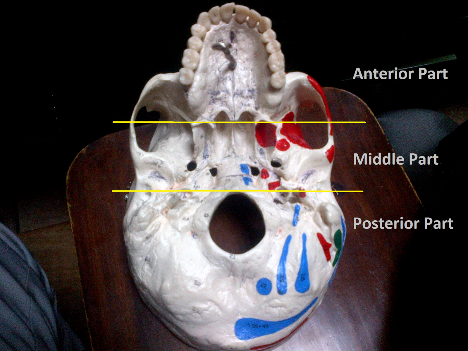 Anatomy Made Easy : Inferior View Of The Skull