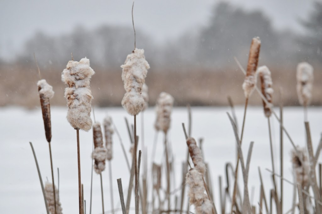 cattails by the pond in the winter