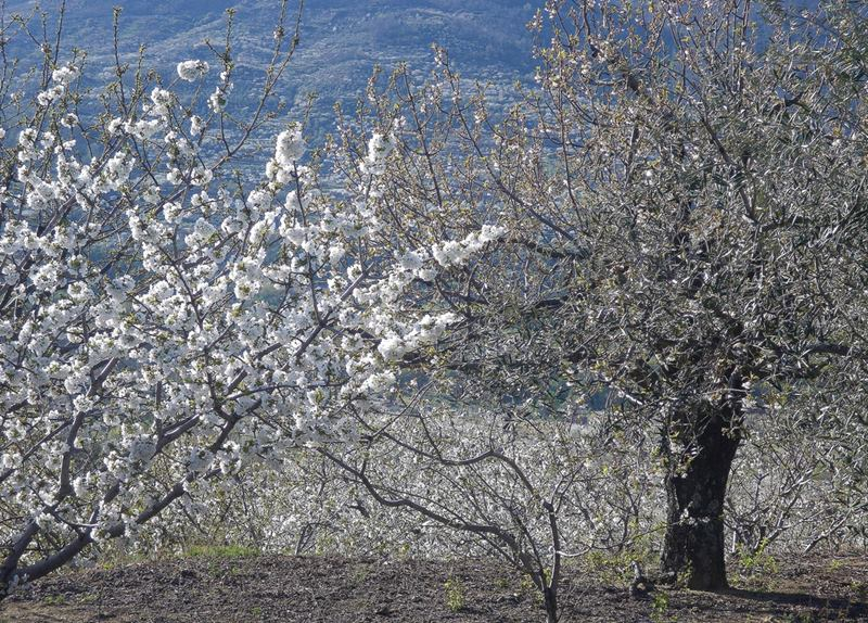 The Jerte Valley, in Extremadura, one of Spain's most famous valleys. Celebrates the flowering of the cherry trees every year, with two different events of colors. First its only happens for a couple of weeks a year, usually at the end of March and beginning of April, when the cherry trees blossom and coat the valley in white, depending on weather conditions.